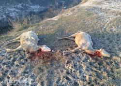 """Ağdaşda canavarlar sürüyə hücum etdi: <span class=""""color_red"""">3 heyvan tələf oldu, 3-ü yaralandı - FOTO</span>"""