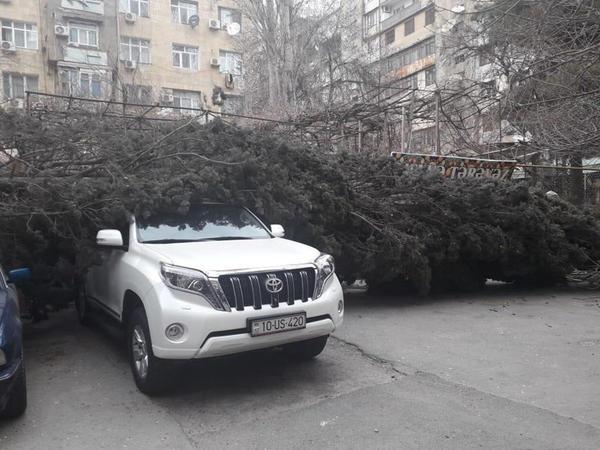 Bakıda güclü külək ağacı kökündən çıxararaq maşınların üstünə atdı - FOTO