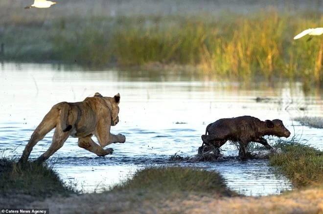 Bufalo balasını dişləyən aslanı pərişan etdi - FOTO