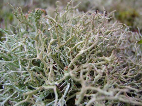 İsland mamırı - göbələk və yosunun birləşməsindən əmələ gələn bitki