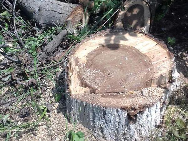 Nazirlik Məhəmməd Hadi küçəsində ağac kəsintisi ilə bağlı faktı araşdırıb
