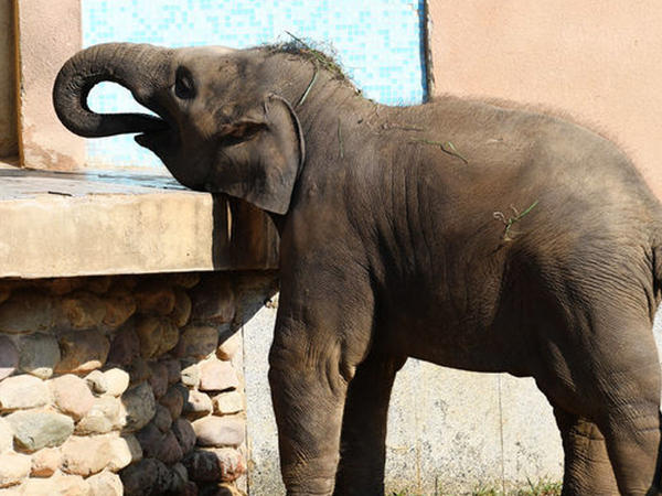 Hindistanda fil beş nəfəri tapdalayaraq öldürdü