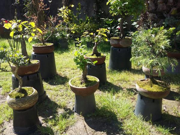 Lənkəranlı bağban böyük ağacların bonsayını yetişdirir - REPORTAJ - VİDEO - FOTO