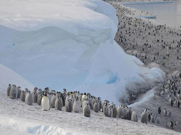 """Antarktidada minlərlə imperator <span class=""""color_red""""> pinqvin balası ölüb</span>"""