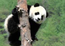 Alimlər yeni panda növü aşkarladılar - FOTO
