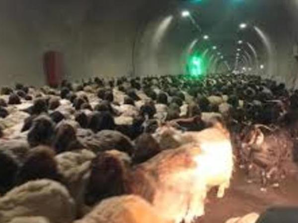 Minlərlə qoyun şəhər tunellərinə doluşdu - MARAQLI GÖRÜNTÜLƏR - VİDEO