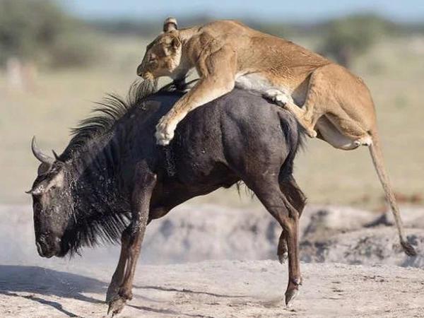 """Aslanın əlindən qaçmaq istəyən antilopun acı sonu - <span class=""""color_red"""">Anbaan KADRLAR</span>"""