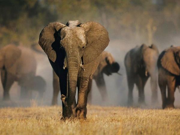 Botsvana Respublikası fil ovuna icazə verib