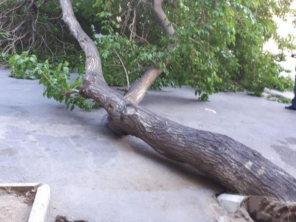 """Bakıda güclü külək 5 ağacı aşırdı - <span class=""""color_red"""">FOTO</span>"""