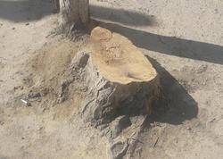 """Nərimanov rayonunda ağac &quot;qətliamı&quot; - <span class=""""color_red"""">15 ağacı kəsib, yerində bina tikirlər - FOTO </span>"""