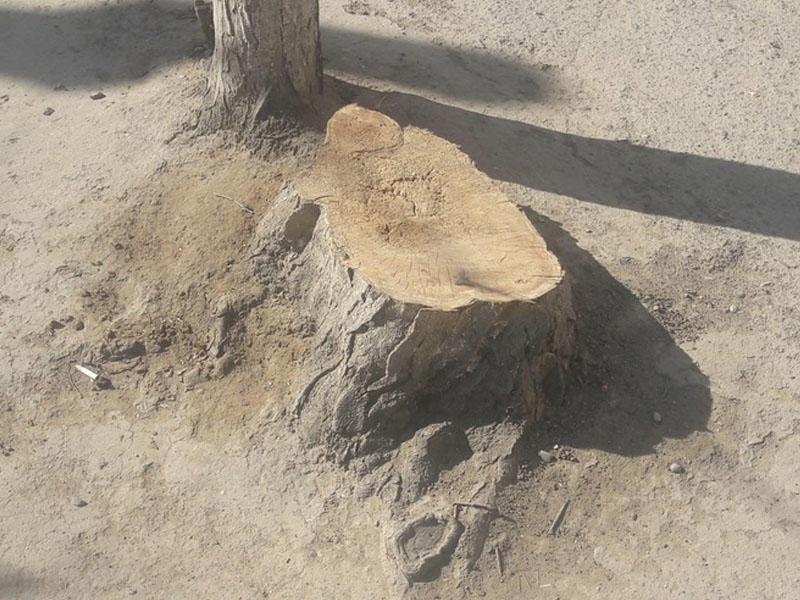 Nərimanov rayonunda ağac