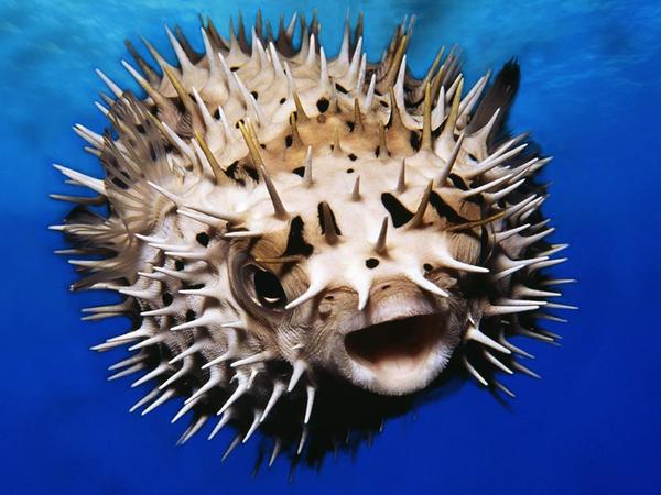 Şar balığının zəhəri ağrıkəsici kimi araşdırılır