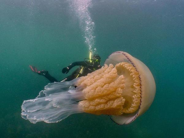 """Nəhəng meduza tapıldı - <span class=""""color_red"""">FOTO</span>"""