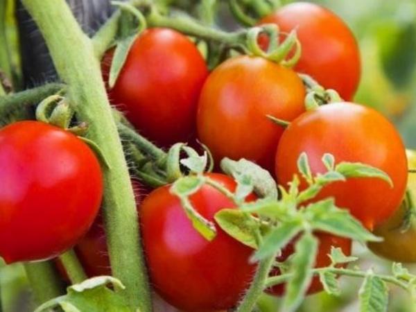 """Pomidorun qiyməti yaxın günlərdə ucuzlaşacaq - <span class=""""color_red"""">PROQNOZ</span>"""