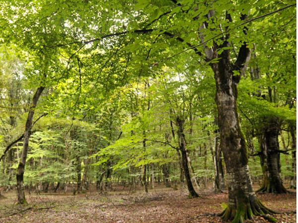Meşələrdən səmərəsiz və intensiv istifadə bəzi bitkilərin areallarını qısaldıb