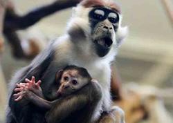 İnsan və meymunun embrion-himerası yaradıldı