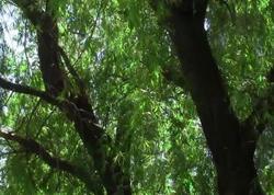 """""""Xan bağı""""nda bir neçə irigövdəli ağac kəsiləcək - <span class=""""color_red"""">SƏBƏB - FOTO</span>"""