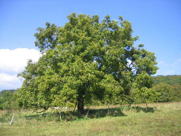Qəbələdə 56 yaşlı kişi qoz ağacından yıxılıb öldü
