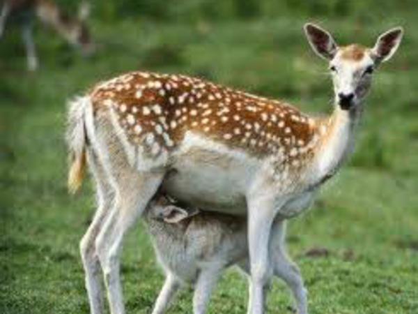 Milli Park ərazisində ceyran ovlayanlar saxlanılıb
