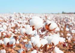 PROQNOZ - Bu il ölkədə pambıq yığımı rekord həddə olacaq