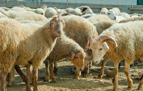 Sabirabadda qoyun oğruları saxlanılıb