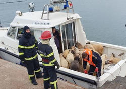 """Qara dənizdə gəmi çevrildi: <span class=""""color_red"""">14 min qoyun batdı - FOTO</span>"""