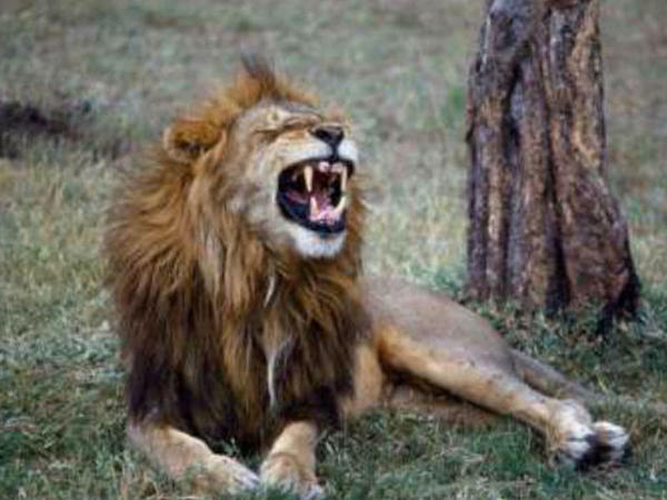 """Zooparkda qorxulu anlar - Şir ona yemək verən adamı parçalamaq istədi - <span class=""""color_red"""">VİDEO</span>"""