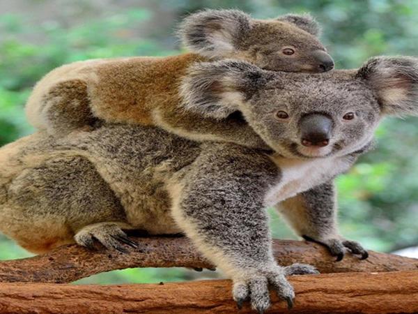 Bala koala oyuncaq ayını anası zənn edərək onu QUCAQLADI - Kövrəldən VİDEO