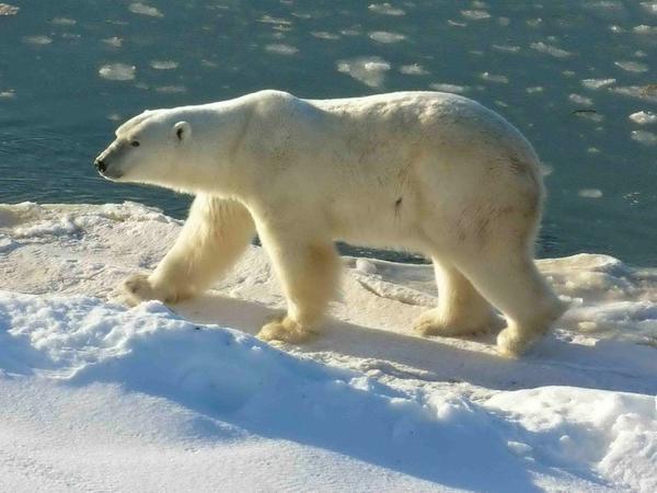 Arktikada ağ ayılar sayılacaq