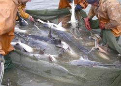 Kürütökmə dövründə balıq ovuna moratorium elan edilir