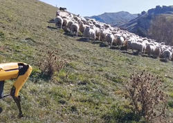 Spot adlı robot it çobanlıq etdi