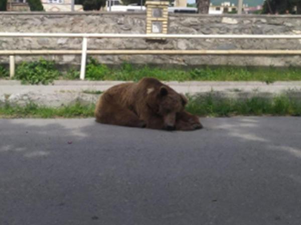 Şəkidəki ayı küçədə yuxuya getdi - YENİLƏNİB - VİDEO - FOTO