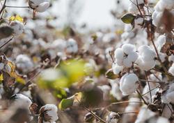 Azərbaycanda pambıq istehsalının artımı planlaşdırılır