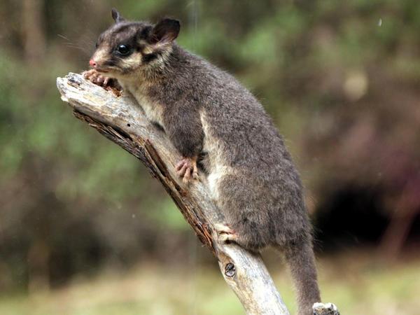 Ledbiter opossumu adından məhkəməyə müraciət edən avstraliyalı könüllülər işi udublar