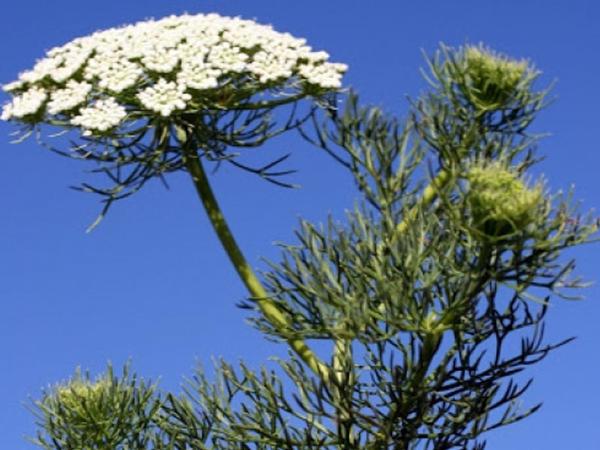 Kəsif qoxulu dişqurtlayan bitkisi spazmolitik təsirə malikdir
