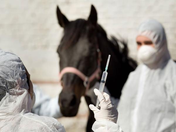 Yeni koronavirusla mübarizə üçün at plazmasından hazırlanan zərdab tədqiq edilir