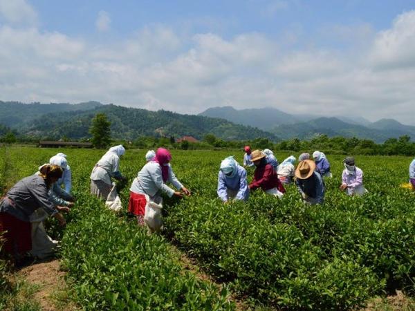 """Azərbaycanda çay istehsalının 60 faizi <span class=""""color_red"""">bu rayonun payına düşür</span>"""