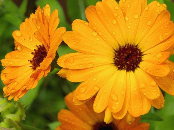 Gülümbahar faydaları