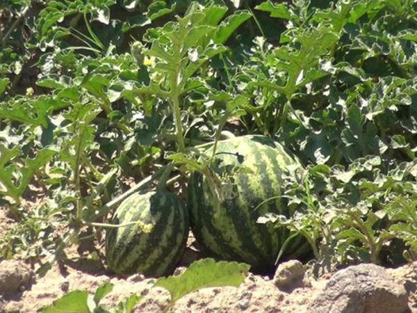 Azərbaycan bostan bitkilərinin ixracını artırır