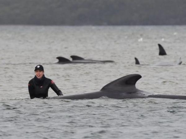 Avstraliyada sahilə atılan 180 qara grind-delfinləri dərin sulara çıxarmağa çalışırlar