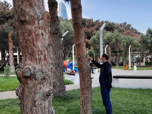 """Bakıda bu ağaclar kəsilməlidir, əks halda... - <span class=""""color_red"""">Direktordan xəbərdarlıq</span>"""