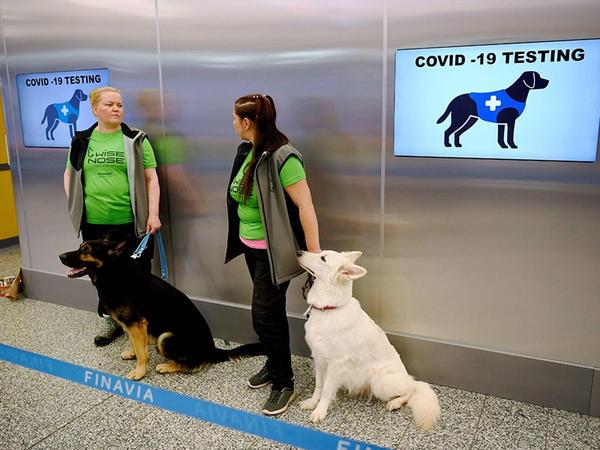 Helsinki aeroportunda koronavirus itlərin vasitəsi ilə yoxlanacaq