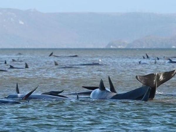 "Onlarla balina ölü tapıldı - <span class=""color_red""> VİDEO</span>"