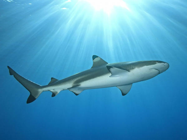 Ekspertlər: COVID-19 vaksinindən ötrü 500 min köpəkbalığı öldürülə bilər