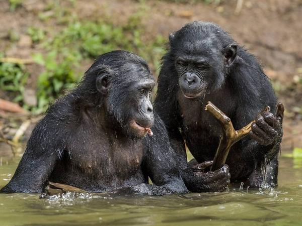 Zoopsixoloqlar: Şimpanzelər və yaşlı insanlar özlərinə dostu eyni yolla seçirlər