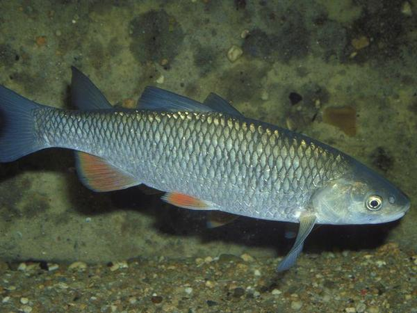 Enlibaş(qolavl) balığının faydaları