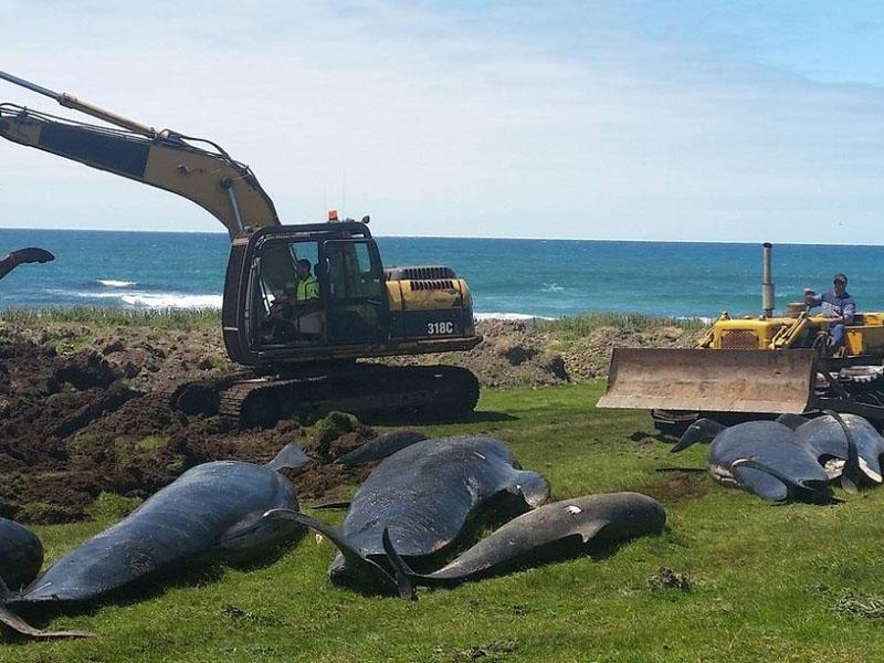 Yeni Zelandiyada 100-dən çox delfin özünü sahilə atıb