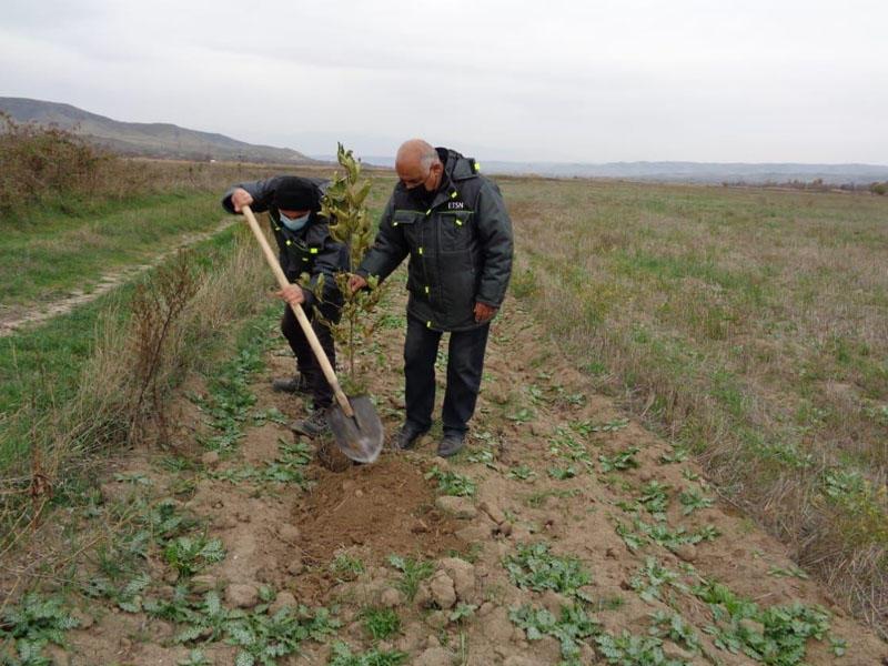 Qubadlıda Şərq çinarları əkildi, tut bağı salındı - FOTO