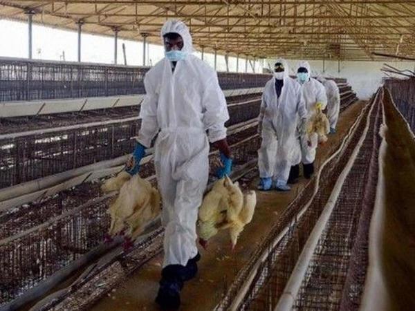 Honkonqda quş qripi epidemiyası təhlükəli hal alır