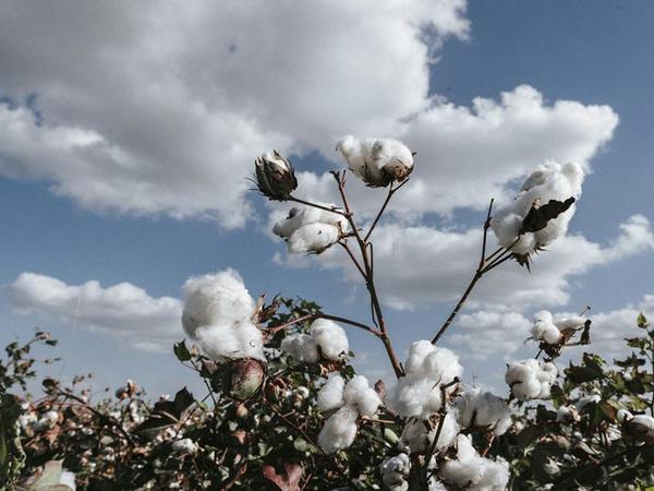 Pambıqçılığın inkişafı ilə bağlı müşavirə keçirilib - FOTO